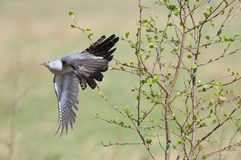 Cuckoo departing Stock Photo
