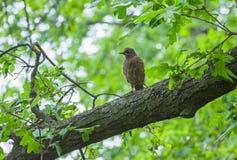 Cuckoo fledgling Royalty Free Stock Photo