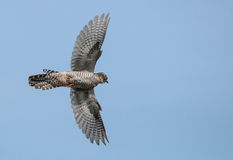 Cuckoo in flight Royalty Free Stock Image