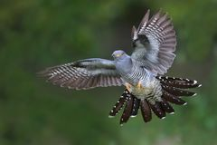 Cuckoo in flight royalty free stock photography
