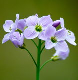 Cuckoo Flower Royalty Free Stock Photography