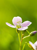 Cuckoo Flower Royalty Free Stock Images