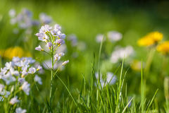 Cuckoo flower Background Royalty Free Stock Images