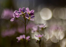 Cuckoo flower bokeh. Cuckoo flower with bokeh in macro royalty free stock image