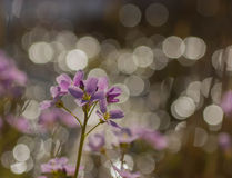 Cuckoo flower bokeh. Cuckoo flower with bokeh in macro royalty free stock photo