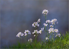 Wild Summer Cuckoo Flower - Lady's Smock. Stock Photos