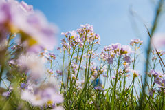 Cuckoo flower (Cardamine pratensis). Cuckooflower, Cardamine pratensis, blooming in a meadow during spring. This plant is a host plant for the orange tip Royalty Free Stock Photo
