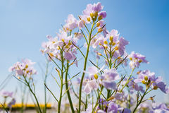 Cuckoo flower (Cardamine pratensis). Cuckooflower, Cardamine pratensis, blooming in a meadow during spring. This plant is a host plant for the orange tip Stock Photo