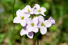 Cuckoo Flower   (Cardamine pratensis) Stock Photography