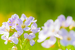 Cuckoo flower (Cardamine pratensis). In a meadow Stock Image