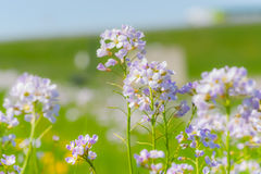 Cuckoo flower (Cardamine pratensis). In a meadow Stock Images