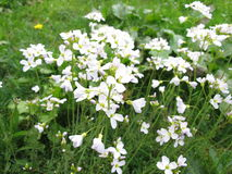 Cuckoo flower, Cardamine pratensis Royalty Free Stock Photo