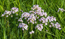 Cuckoo Flower, Cardamine pratensis. On a wet meadow in spring Stock Photo