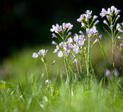 Cuckoo flower Garden Stock Image