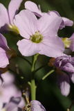 Cuckoo Flower or Lady's Smock Royalty Free Stock Images