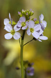 Cuckoo Flower or Lady's Smock Stock Photo