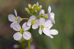 Cuckoo Flower Stock Images