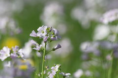 Cuckoo Flower or Lady`s Smock Royalty Free Stock Image