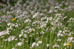 Cuckoo Flower or Lady`s Smock Stock Image