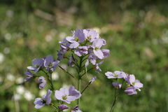 Cuckoo Flower or Lady`s Smock Stock Images