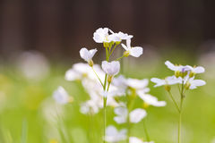 Cuckoo flower on meadow Stock Photos