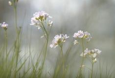 Cuckoo flowers in grey skies Stock Photo