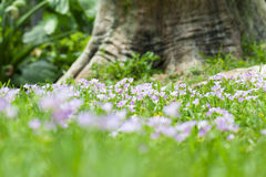 Cuckoo Flowers in a Meadow Stock Photo