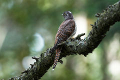 Cuckoo in forest Royalty Free Stock Photos