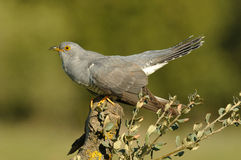 Cuckoo perched Royalty Free Stock Photos