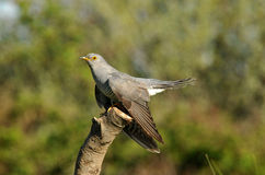 The Cuckoo perched Royalty Free Stock Images