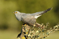 Cuckoo. Perched on a tree branch stock photography
