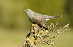 A cuckoo Stock Photography