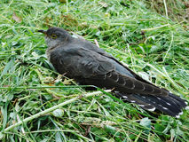 Cuckoo. A cuckoo resting on a bunch of grass Stock Image