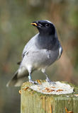 Cuckoo-Shrike feeding on mealworms Royalty Free Stock Photos