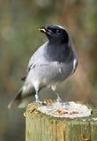 Cuckoo-Shrike feeding on mealworms Royalty Free Stock Photos