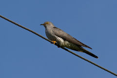 Cuckoo is sitting on wires sunny summer Stock Photo
