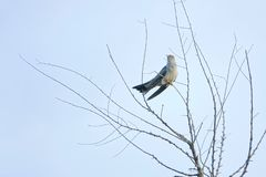 Cuckoo. A Cuckoo stands in branches. Scientific name: Cuculus canorus bakeri stock photography
