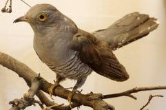 Cuckoo taxidermy Stock Photography