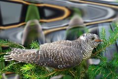 Cuculus canorus, Common Cuckoo. Royalty Free Stock Photos