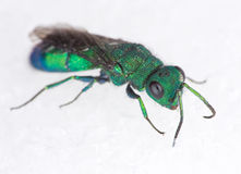 Cuckoo Wasp Stock Photos