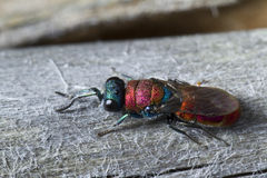 Cuckoo Wasp (Chrysis lusitanica) Stock Photography