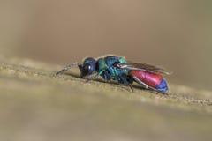 Cuckoo wasp, Chrysis rutilans Royalty Free Stock Photography