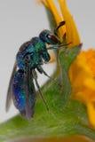 Cuckoo Wasp Royalty Free Stock Photo