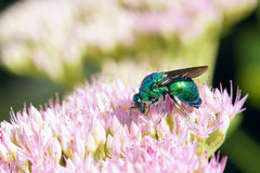 Cuckoo wasp Royalty Free Stock Images