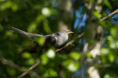 Cuckoo Stock Images