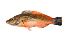 Cuckoo Wrasse Stock Photos