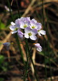 Cuckooflower Royaltyfria Bilder
