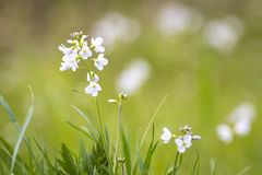 Cuckooflower blooming in a meadow Royalty Free Stock Photo