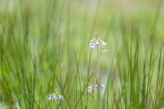 Cuckooflower cardamine pratensis blooming in a wet and fresh m. Cuckooflower, Cardamine pratensis, blooming in a wet and fresh meadow during spring. This plant Royalty Free Stock Photo