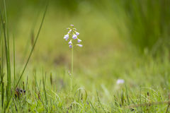 Cuckooflower cardamine pratensis blooming in a wet and fresh m Royalty Free Stock Images